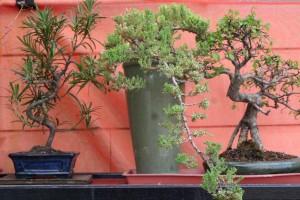 Bonsai története, leírása, kép