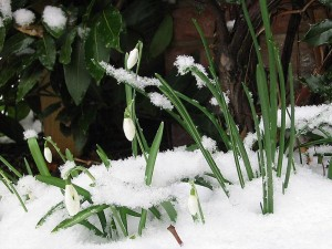 Hóvirág a hóban