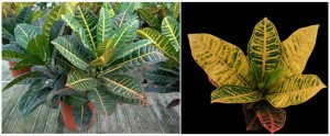 Codiaeum variegatum, kroton tartása, leírása, kép