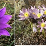 Leánykökörcsin, Pulsatilla grandis, védett növények, kép, leírás
