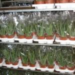 Aloe vera leírása, termesztése, gyógyhatása, képe, aloé