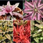 Rejtettvirág bromélia