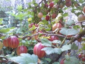 gyümölcsös kert, köszméte