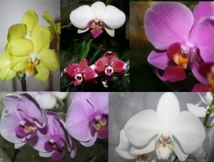 Pillangó orchidea Phalenopsis var