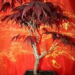 Acer bonsai