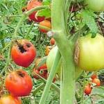 Solanum lycopersicum bacteria