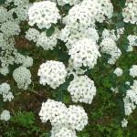tavasszal viragzo