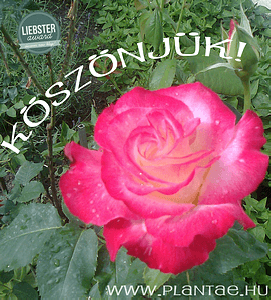 3_koszonjuk_p